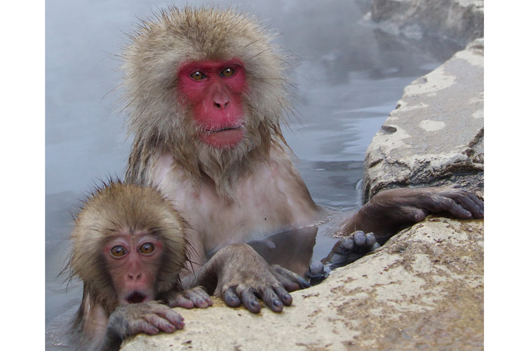Japan winter wildlife tours slide of snow monkeys in hot pools