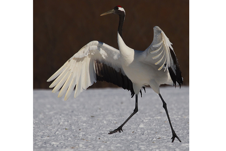 Japan Winter Wildlife tour photo of a Red-crowned Crane