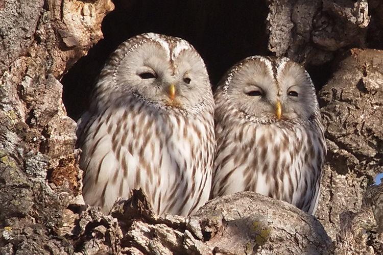 Japan birding tours image of two Ural Owls