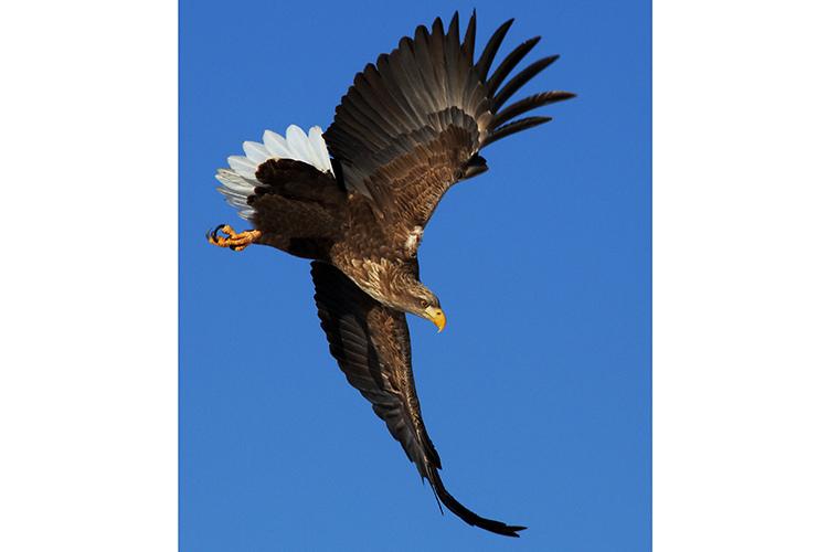 Japan wildlife tours photo of White-tailed Sea Eagle