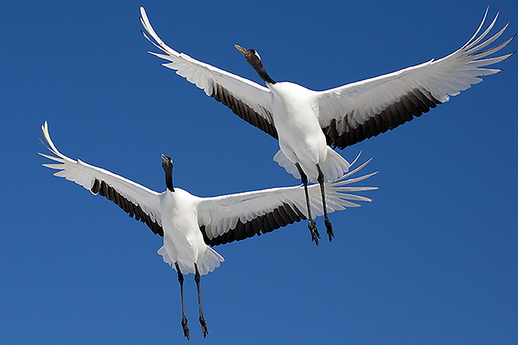 Japan Winter Wildlife expedition photo of flying Red-crowned Cranes