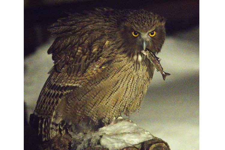 Japan birding tour image of Blakiston's Fish Owl