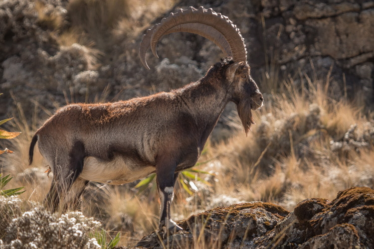 Walia Ibex in Ethiopia with Apex Expeditions
