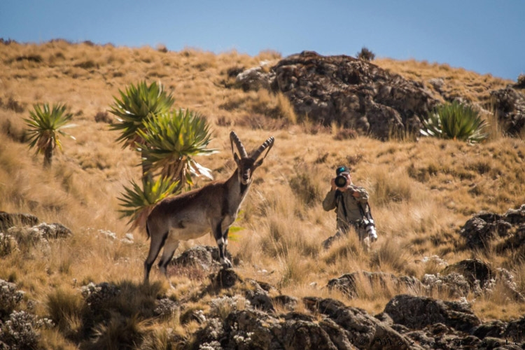 Ethiopia travel tours slide showing Walia Ibex being photographed