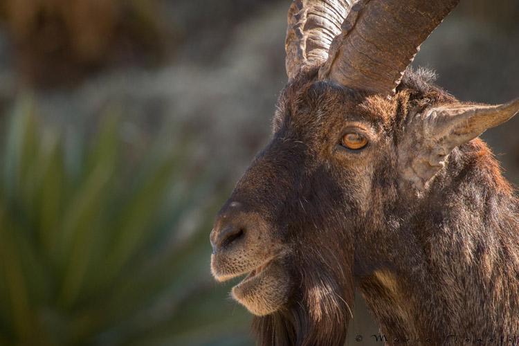 Ethiopia tour slide showing Walia Ibex close up