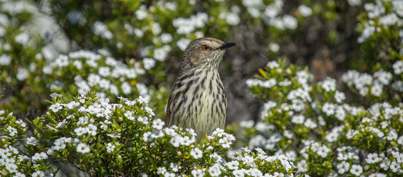 South Africa safari tour slide of Karoo Prinia