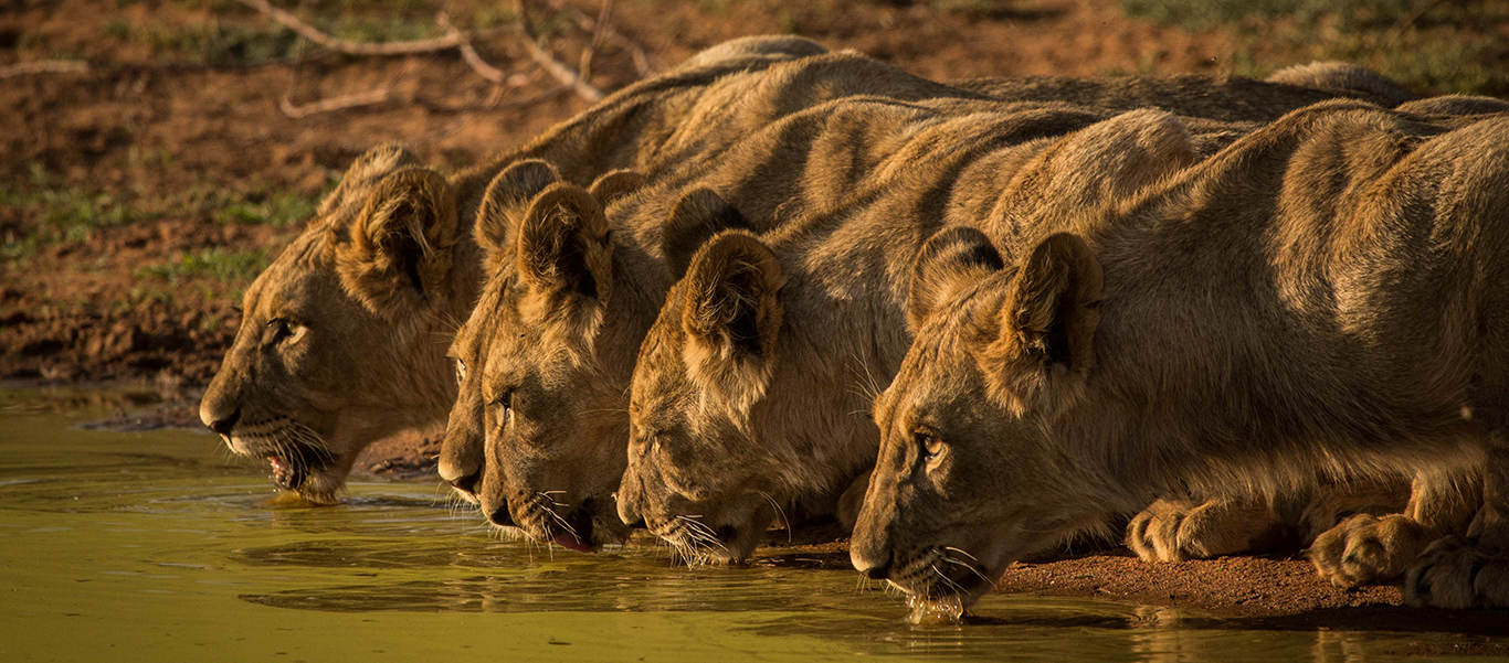 South Africa safari tours image of lions drinking