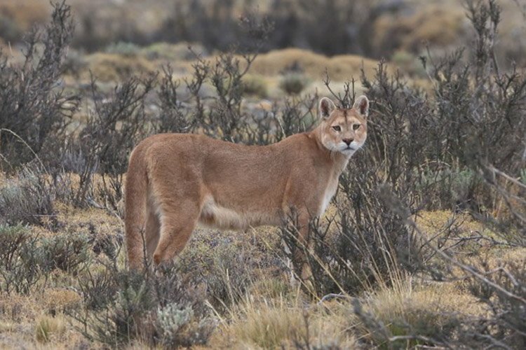 Patagonia adventure tours image showing a puma
