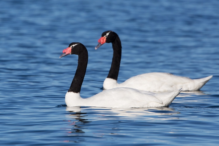 Patagonia tours photo showing Black-necked Swans in Chile