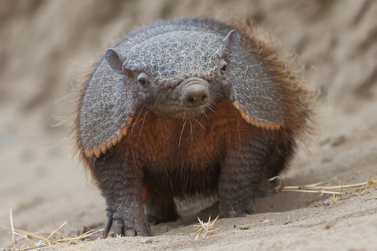 Patagonia wildlife adventure image of a Hairy Armadillo in Punta Norte