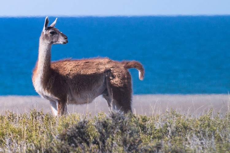 Patagonia wildlife expedition photo of Guanaco on Peninsula Valdes