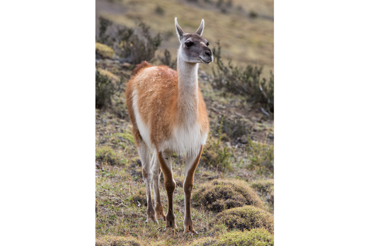Patagonia tours image shows Guanaco in Torres del Paine