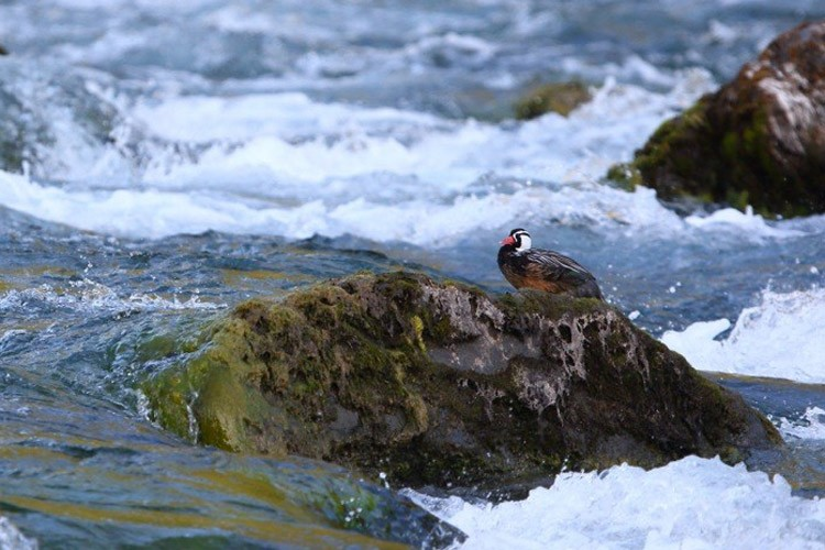 Patagonia tours image of Torrent Duck preening on a river