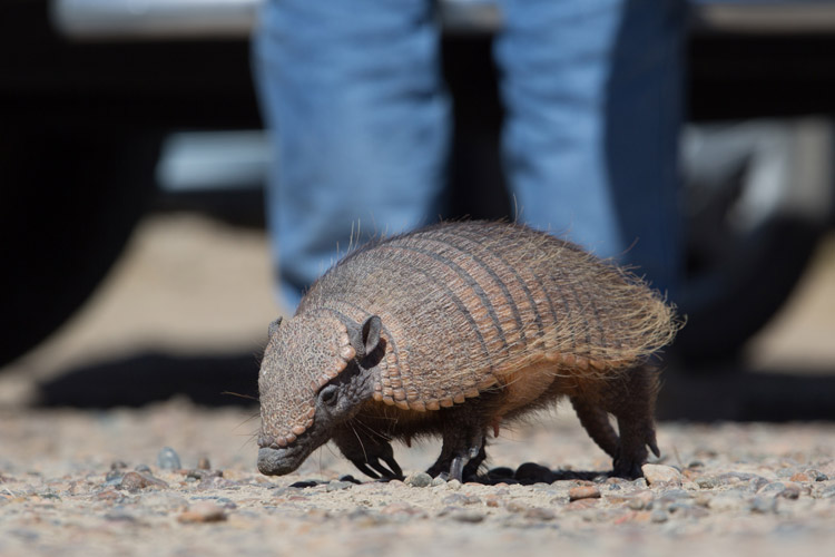 Patagonia expedition image of Hairy Armadillo on Peninsula Valdés