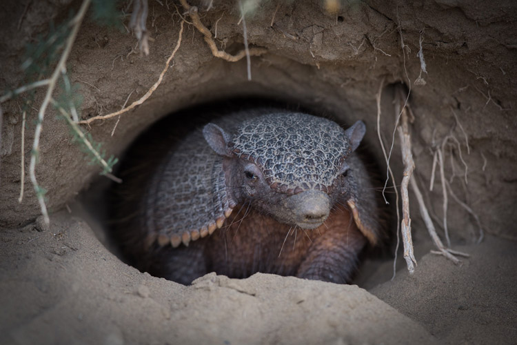 Patagonia wildlife tours slide of Greater Hairy Armadillo in its burrow