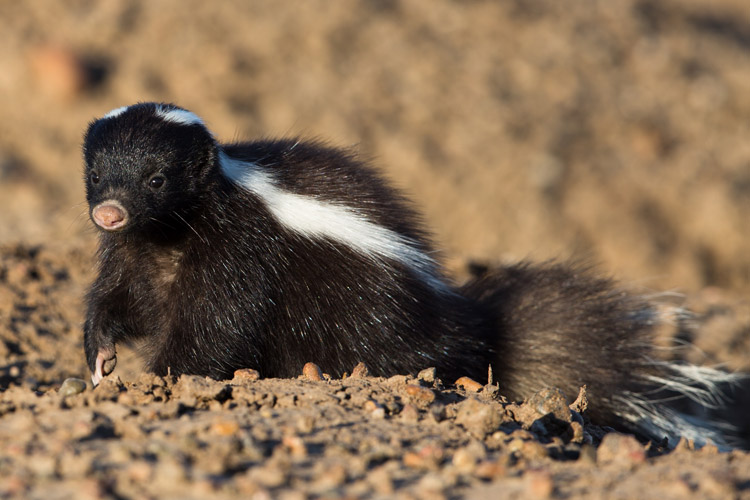 Patagonia adventure expedition slide showing Hog-nosed Skunk on the Peninsula Valdés