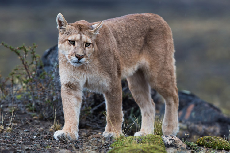Patagonia tours photo shows puma in Torres del Paine