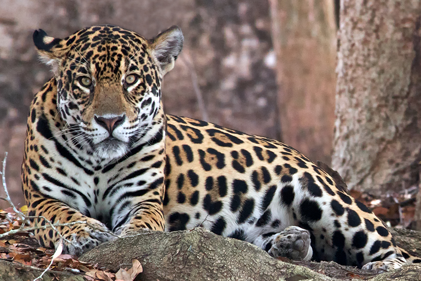 Brazil wildlife tour image of reclined jaguar
