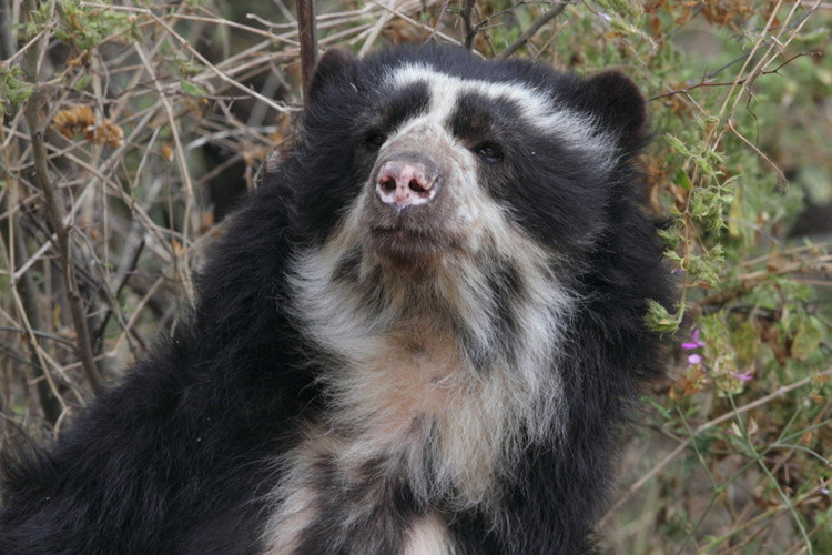 Ecuador adventure tour showing spectacled bear