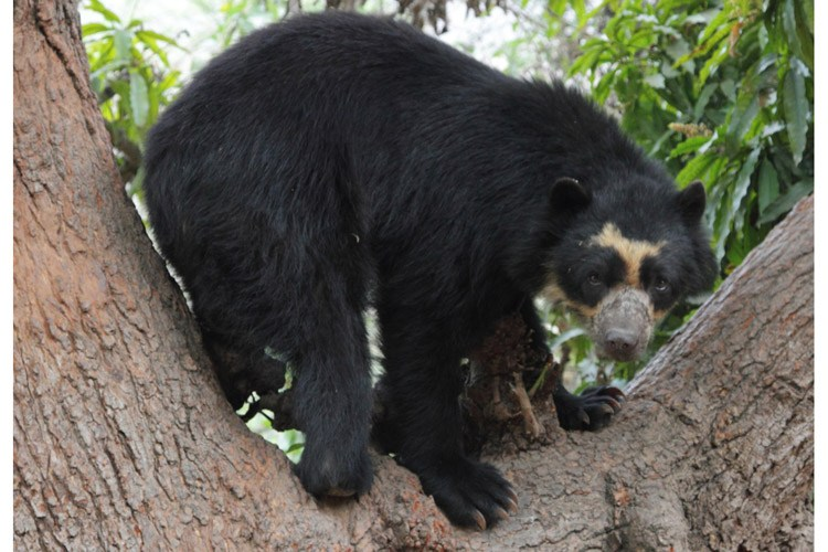 Ecuador adventure tour showing spectacled bear in tree