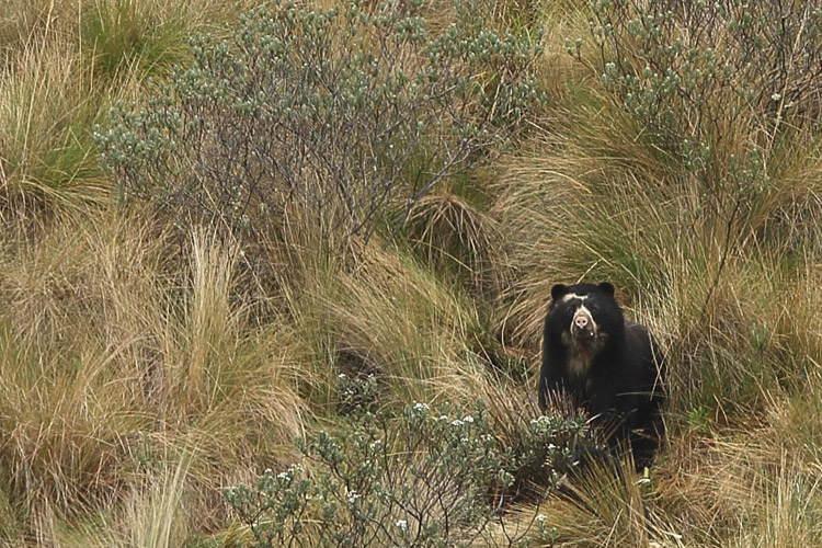 Ecuador wildlife tour photo showing female spectacled female bear