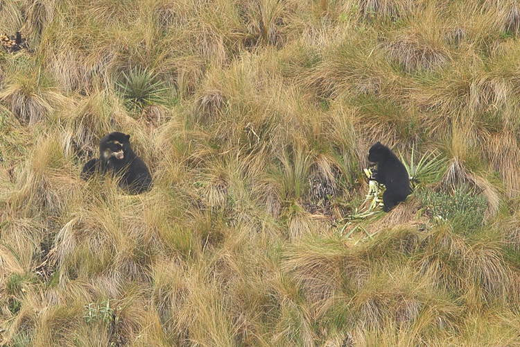 Ecuador wildlife tour slide showing female spectacled bear and cub near Papallacta