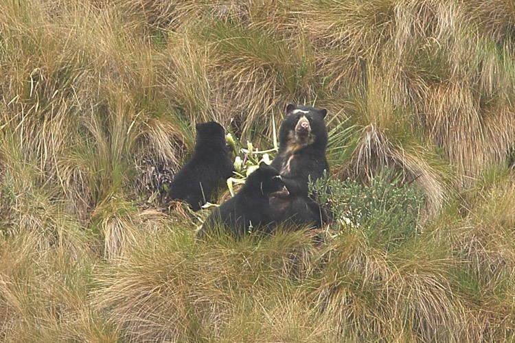 Ecuador wildlife tour slide showing spectacled female bear nursing cub