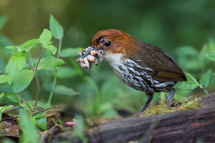 Ecuador tour slide showing Chestnut-crowned Antpitta