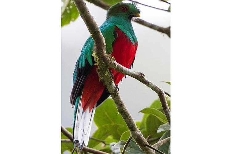 Ecuador adventure tours slide shows a Crested Quetzal