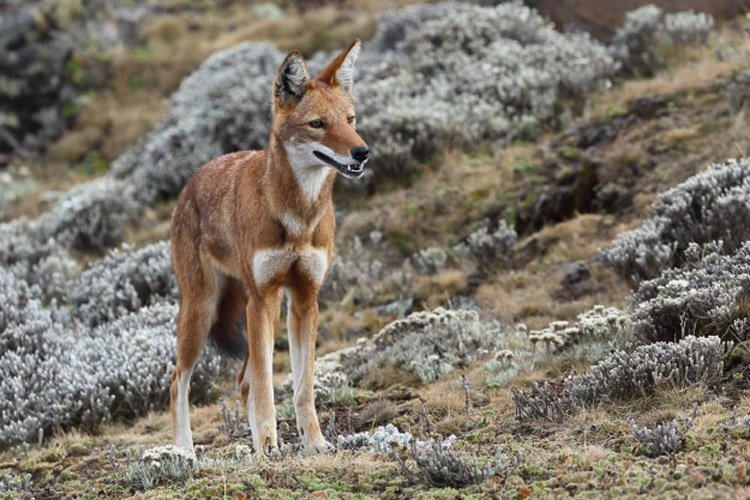 Ethiopian tour photo showing wolf in the Bale Mountains