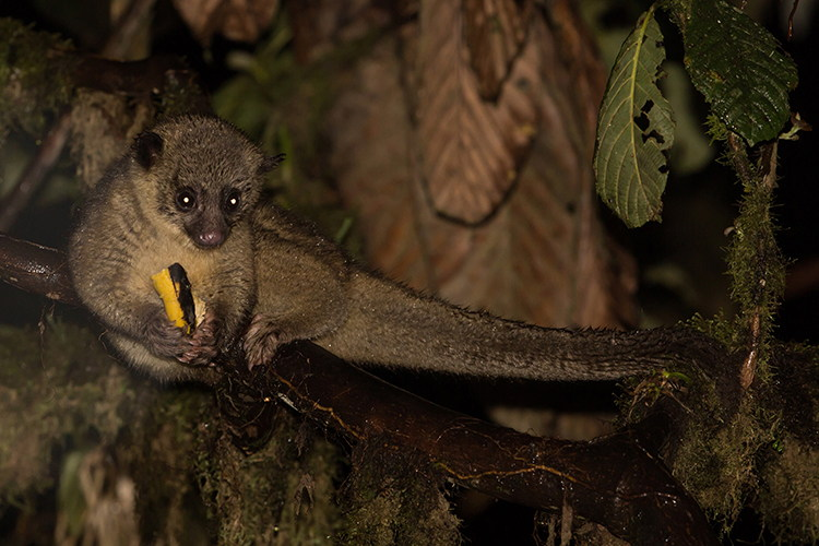 Ecuador adventure tours slide shows an Olinguito
