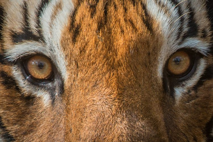India and Nepal wildlife safari slide of tiger eyes in Kanha National Park, India