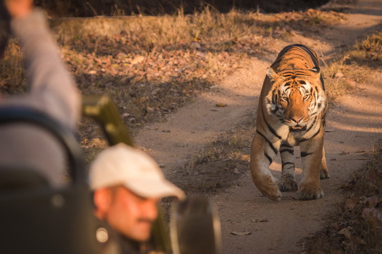 India and Nepal wildlife safari slide of walking tiger in Kanha Natoinal Park in India