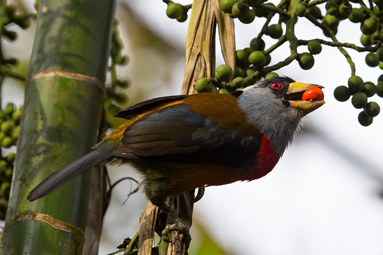 Slide showing Toucan Barbet