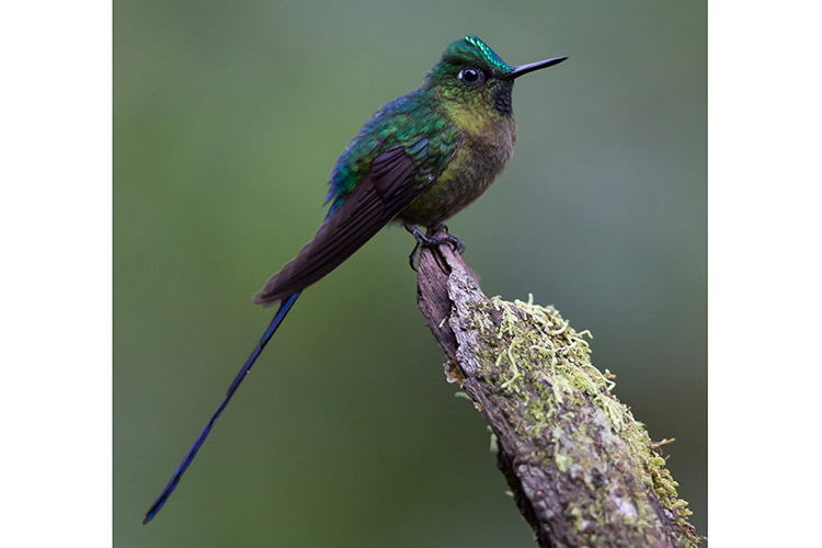 Ecuador adventure tours slide shows a Violet-tailed Sylph