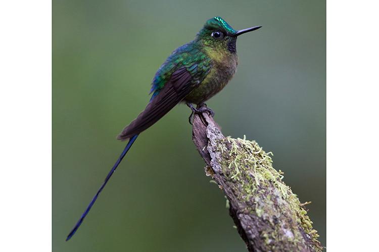 Ecuador adventure tours slide shows a Violet-tailed Sylph