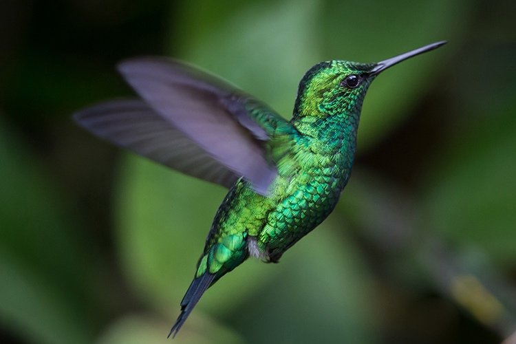 Photo showing Western Emerald hummingbird