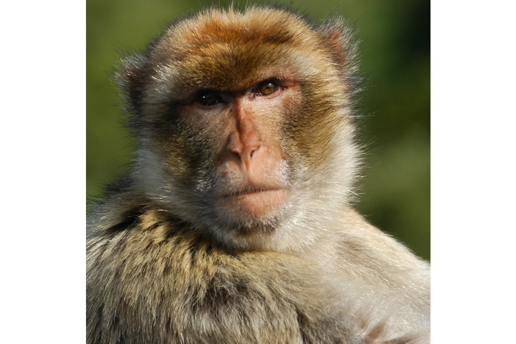 Spain wildlife tours image shows Barbary Macaque in Gibraltar