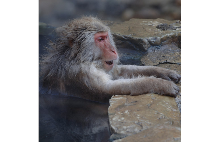 Japan wildlife tour slide of a snow monkey in hotsprings