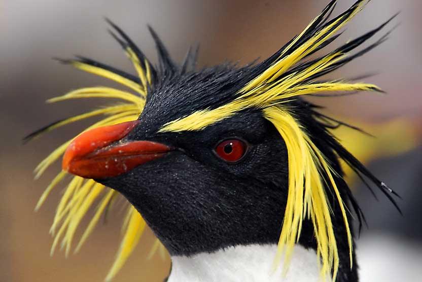 tristan da cunha cruise slide showing northern rockhopper penguin
