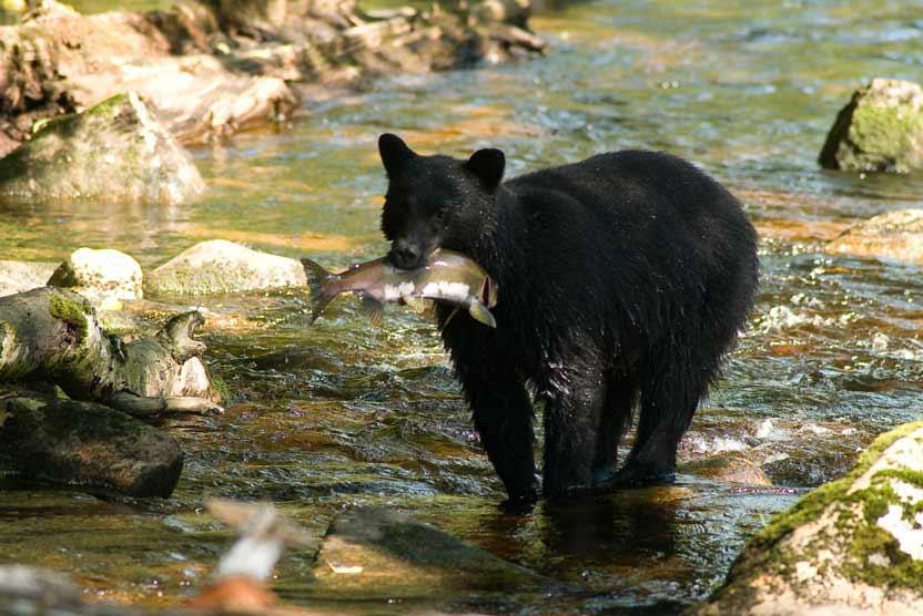 Canada Spirit Bear tour slide featuring black bear catching salmon in Great Bear Rainforest