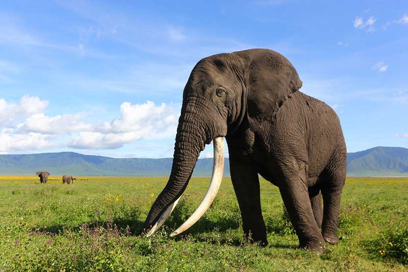 Tanzania safari photo of an African Elephant tusker