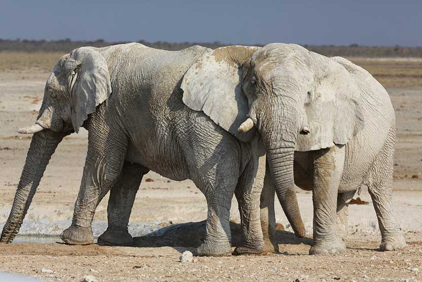 Namibia wildlife safari slide shows desert-adapted Elephants
