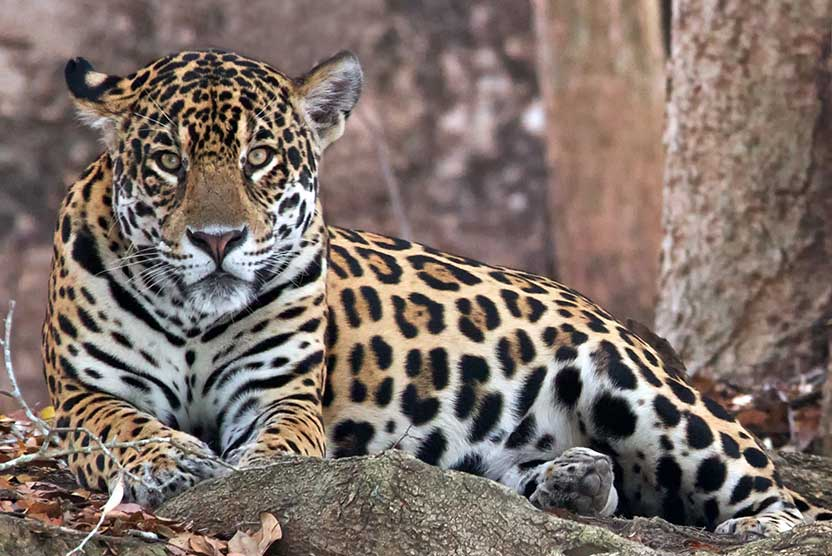 Brazil wildlife tours slide showing jaguar
