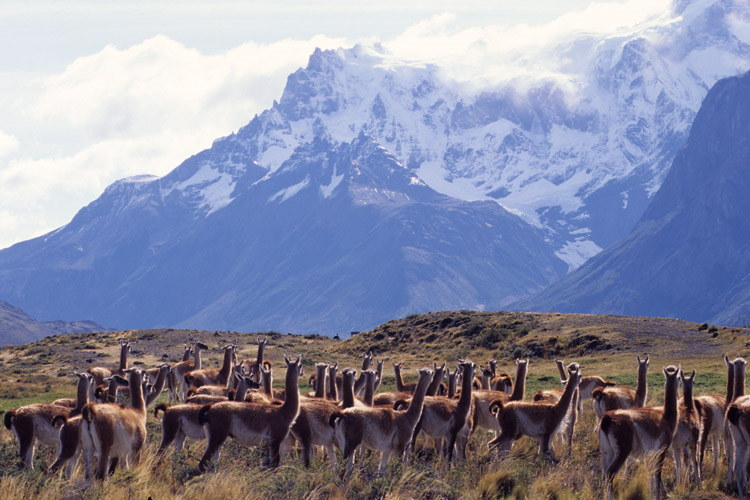 Patagonia adventure tour photo featuring herd of guanacos and mountains