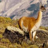 Patagonia adventure tour slide showing a guanaco