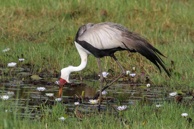 Botswana Safari image of Wattled Crane in Okavanga Delta
