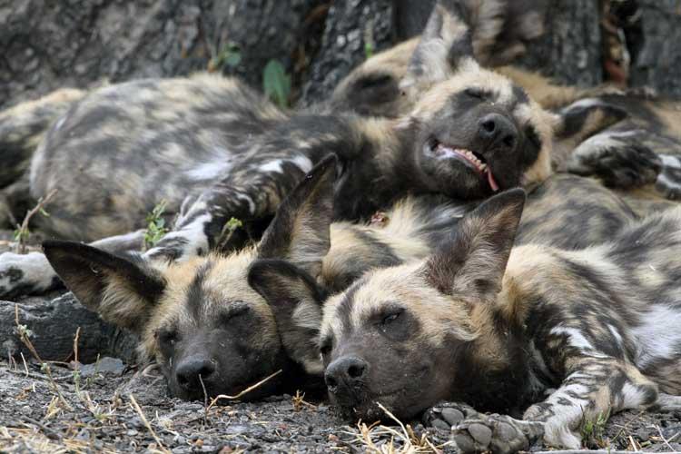 Botswana Safari photo of Hyenas sleeping