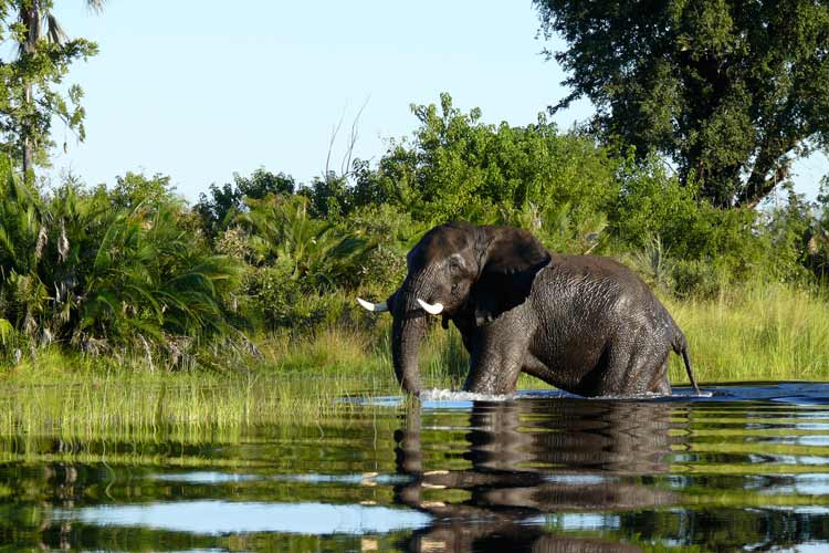 Botswana Safari image of African Elephant in Okavanga Delta