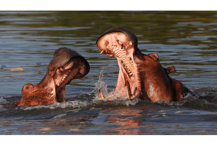 Botswana safari tour slide showing Hippo fight in river
